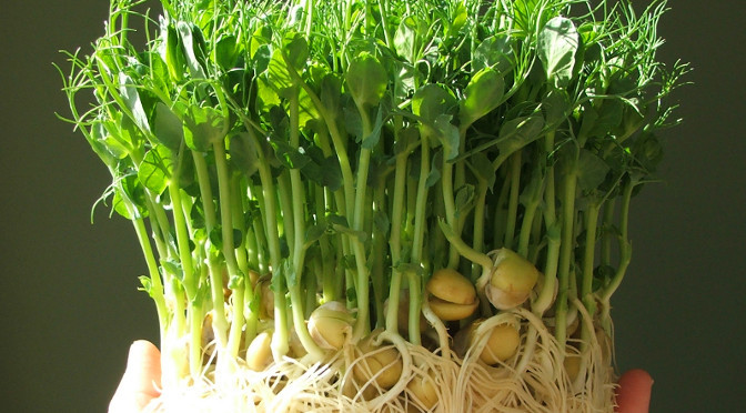 Feature Pea shoots