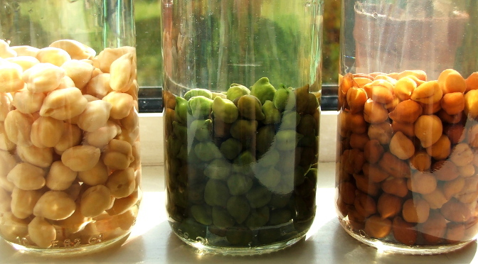 chickpeas sprouting