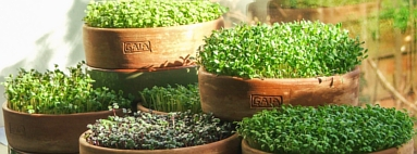 Microgreens growing from A to Z